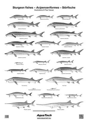Poster - Störfische (Acipenseriformes)